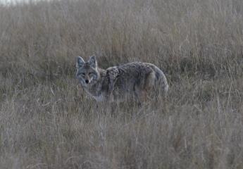 Coyote s (2)