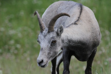 Dall's Sheep hkh4
