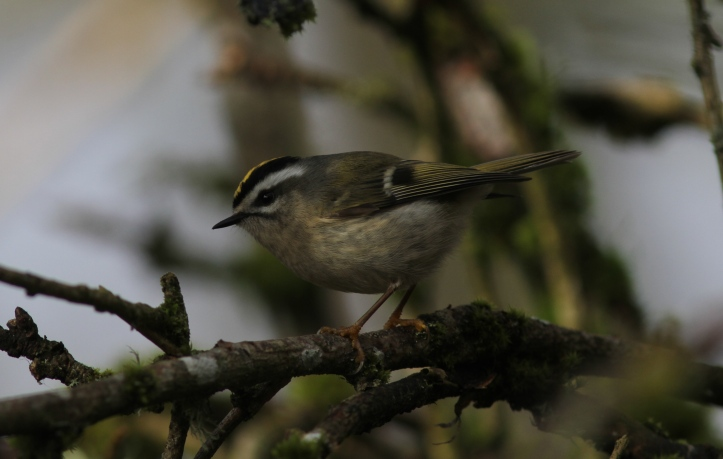 Golden-crowned Kinglet hgh2.JPG