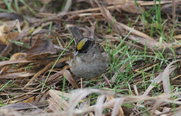 Golden-crowned Sparrow ghg3 (4).JPG