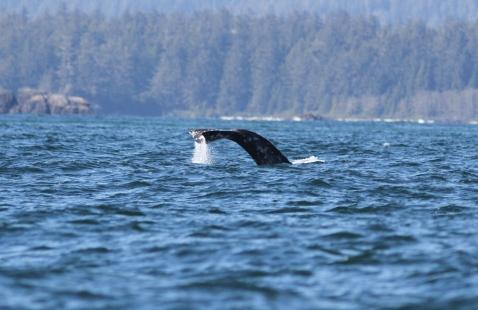 Gray Whale h378