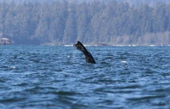 Gray Whale lkg