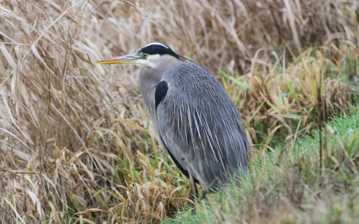 Great Blue Heron hghk3.JPG