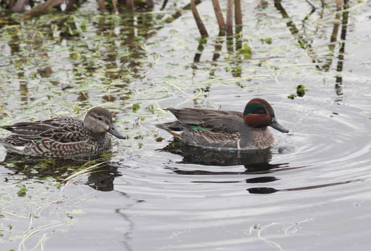 green-winged Teal h33.JPG