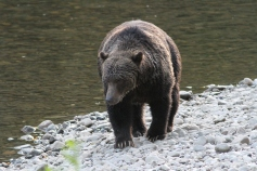 Grizzly Bear 54 (13)
