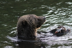 Grizzly Bear 54 (19)