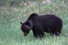 Grizzly Bear 56fggk2