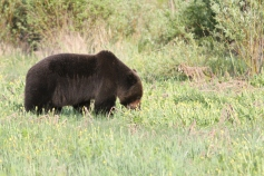 Grizzly Bear 9n3k (3)