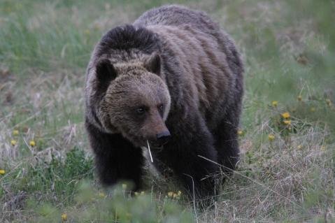 Grizzly Bear gjg