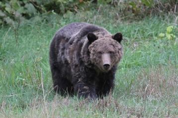Grizzly Bear kjkk (14)