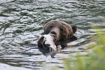 Grizzly Bear kjkk (19)