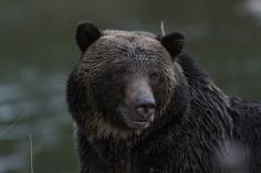 Grizzly Bear kjkk (6)