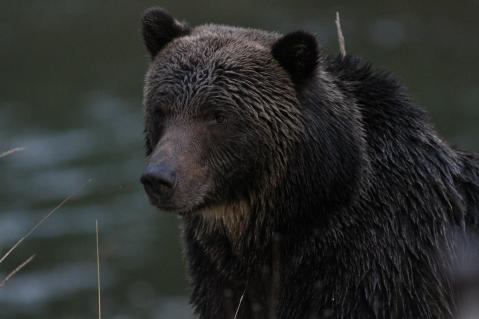 Grizzly Bear kjkk (7)