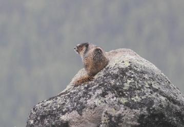 Hoary Marmot 84