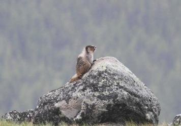 Hoary Marmot 8s
