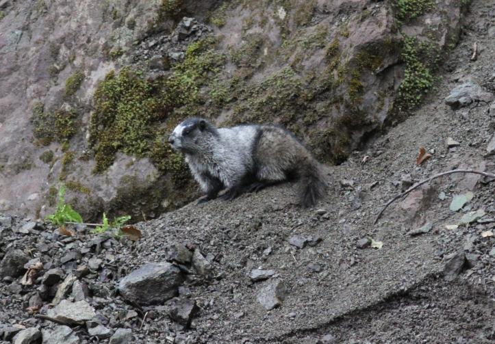 Hoary Marmot hjh3.JPG