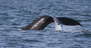 Hump-backed Whale ggu3