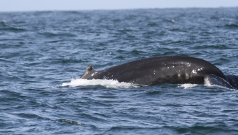Hump-backed Whale ghj3f