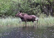 Moose gj3f