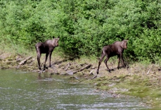 Moose vgg3f