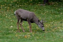 Mule Deer 10 (1)