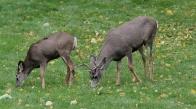 Mule Deer 10 (4)