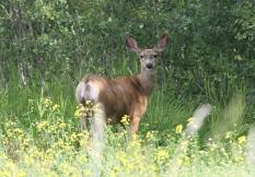Mule Deer 895