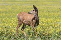 Mule Deer 89jh3