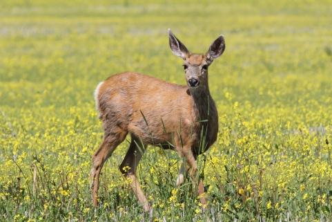 Mule Deer 98k3