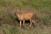 Mule Deer 990hhj2