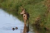 Mule Deer nghkgh3