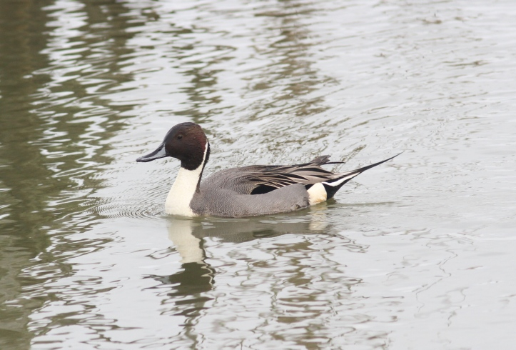 Northern Pintail 872.JPG