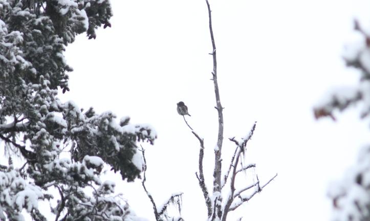 Northern Pygmy Owl gh3.JPG