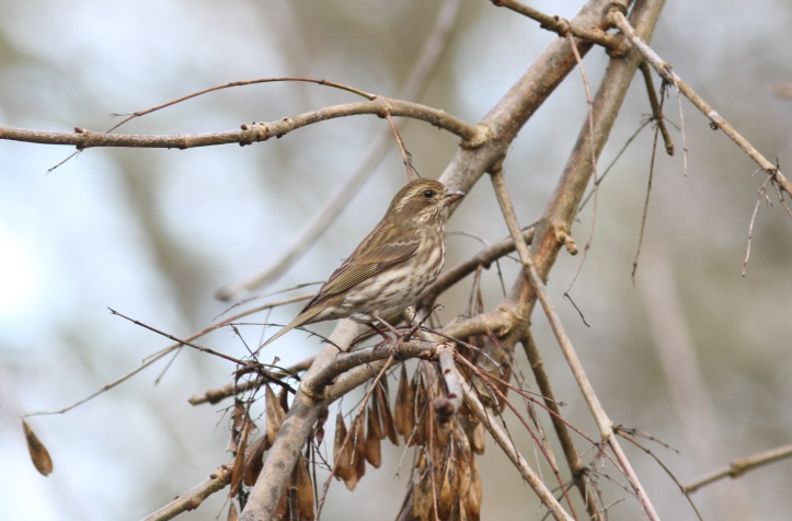 Purple Finch hghk2.JPG