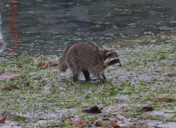 Raccoon l3
