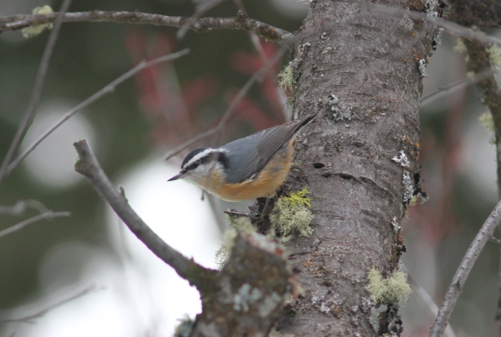 Red-breasted Nuthatch 902 (2)