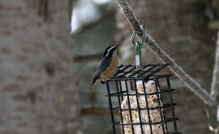 Red-breasted Nuthatch hj3