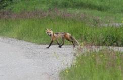 Red Fox 2ba (2)