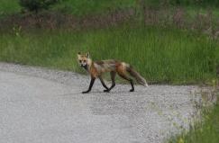 Red Fox 2ba (3)