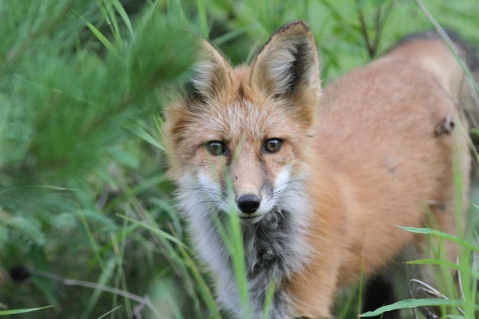 Red Fox ffge