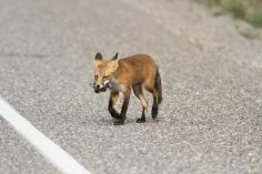 Red Fox h4