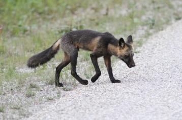 Red Fox jhr