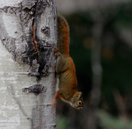 Red Squirrel fdsa