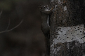 red squirrel h3 (2)