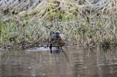 River Otter ffg3