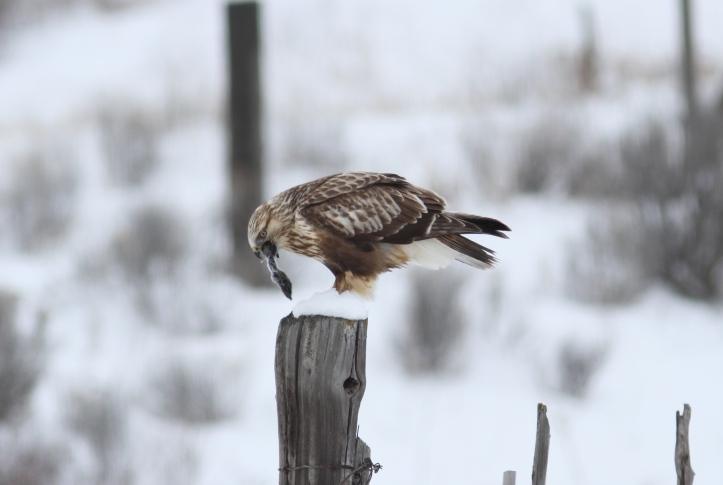 Rough-legged Hawk ghk3