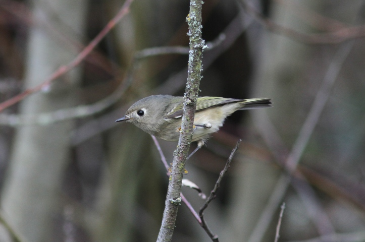 Ruby-crowned Kinglet hkkhkl2.JPG