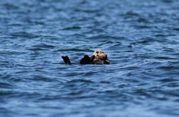 Sea Otter gh3
