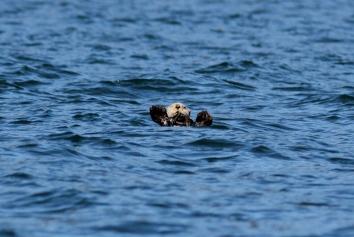 Sea Otter h3
