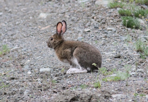 Snoeshoe Hare klkkl4